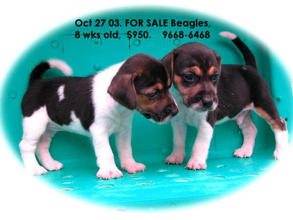 Pet Quality Beagle Puppies