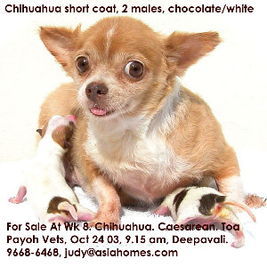Chocolate chihuahuas for export sale in Dec 24 2003, 9668-6468 judy@asiahomes.com