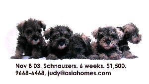 Schnauzer puppies for sale $1,300 - $1,500