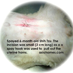 Shih Tzu spayed at 6 months, Toa Payoh Vets, Singapore.