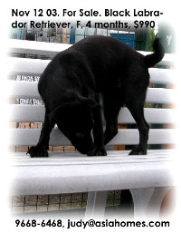 For Sale. Singapore black Labrador is not so popular. Tel 9668-6468.