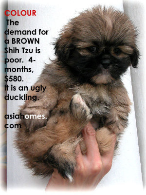 Brown Shih Tzu puppy 4 months old for sale, tel 9668-6468