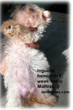 Maltese 9 weeks with inguinal hernia  Toa Payoh Vets