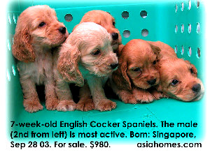 Singapore cocker spaniels for sale  tel 9668-6468