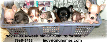 Singapore chihuahua puppies for sale, 9668-6468