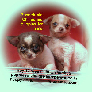 Dec 7 03. Chihuahua puppies well cared for by breeder for sale. 9668-6468