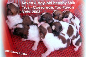 Healthy and good-sized six-day-old Shih Tzus. Singapore