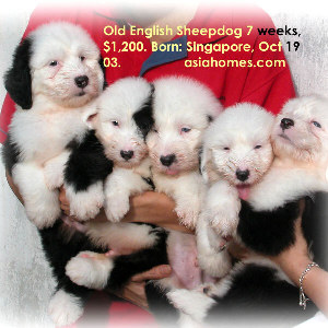 Dec 13 03. Old English Sheepdog puppies for sale, Singapore 9668-6468