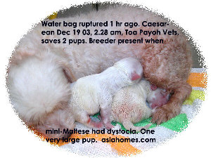 Mini-Maltese timely Caesarean water bag burst 1 hour, vigorous puppies