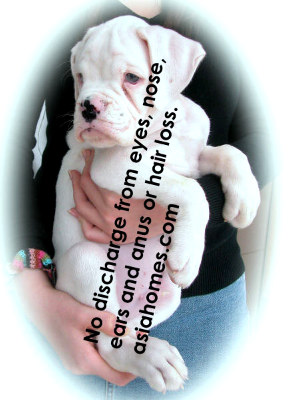 2-month-old White Boxer for sale, Singapore $2,600