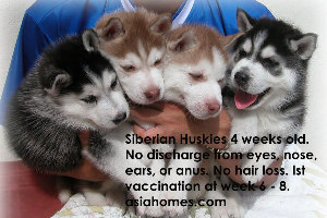 Jan 2 2004.Good sized healthy active 4-week-old Siberian Husky puppies for sale. +65 9668-6468