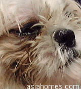 Singapore Shih Tzu - tear staining or epiphora