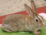 Singapore rabbit with mange mites