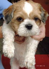 Singapore Shih Tzu four weeks after injection.