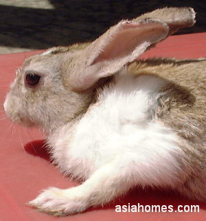 Singapore rabbit 5 days after anti-mite injection Sarcoptes