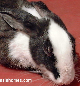 Singapore rabbit 5 days after anti-mite injection. Sarcoptic Mange.