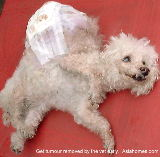15-year-old Bichon Frise, Singapore, with huge tumour