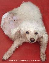 Singapore dog with huge tumour