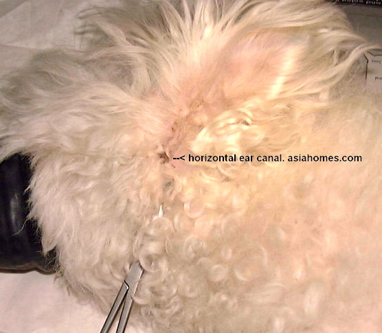 0120Singapore Veterinary Education Bichon Frise Ear Canal