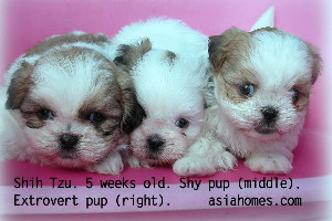 5-week-old Shih Tzu puppies. Weaned.