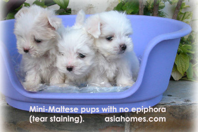 Mini-maltese 8 weeks old with no tear staining for sale