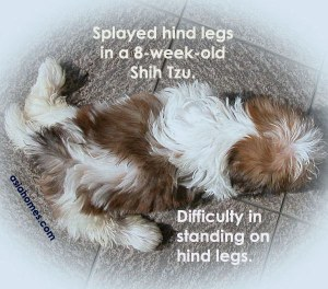 Unable to stand properly on hind legs. 8-week-old Shih Tzu. Toa Payoh Vets