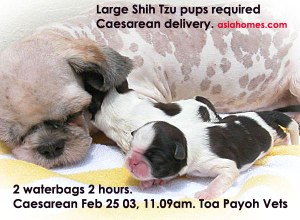 Large vigorous Shih Tzu pups - timely emergency Caesarean, Toa Payoh Vets