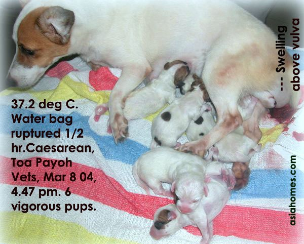 Perineal swelling in a pregnant Jack Russell mother. 6 vigorous pups.