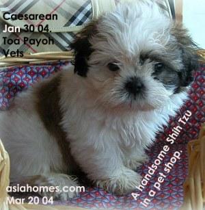 6 Week Old Shih Tzu Puppies
