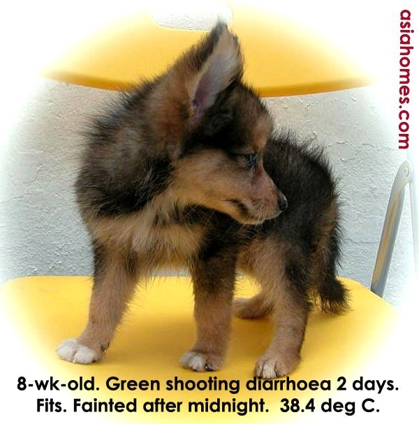 Mini Sheltie Puppy