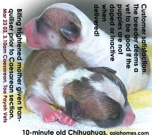 Newborn Chihuahuas active although biting cyanotic mother had been tranquilised prior to Caesarean section
