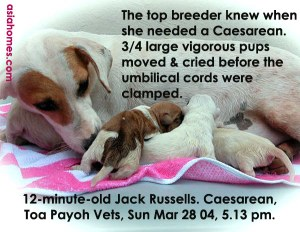 Just-in-time Caesarean - 4 vigorous Jack Russell pups