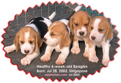Beagle puppies 6 weeks old, asiahomes.com