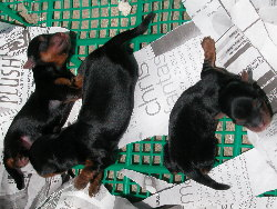2 Silkie puppies (left) from Caesarian section. Singapore