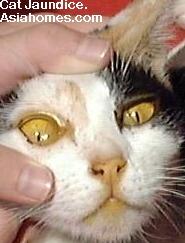 Singaopre cat with jaundice (icterus) - yellow ears, nose, sclera (eye-white)
