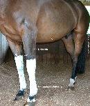 Tendinitis and urticaria. Singapore horse.