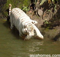 White tiger at Singapore Zoological Gardens goes fishing