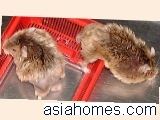 Singapore hamsters with back alopecia