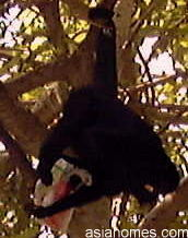 Spider monkey checking out McDonald's red box of fries