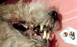 Dogs over 5 years old need teeth check up