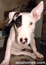 Bull Terrier with lazy ear