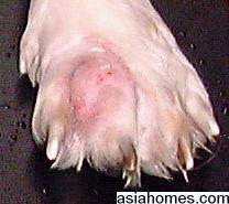 Singapore Shih Tzu with interdigital cysts