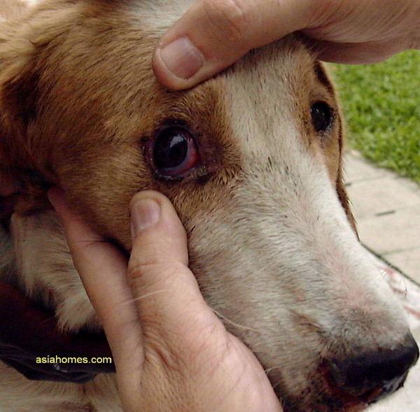 Dog Bloodshot Eyes And Discharge