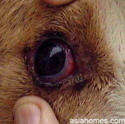 Singapore dog with fevered eye (right)