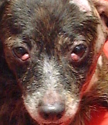 12-year cross-bred female with 2 cherry eyes.