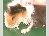 Guinea pig with profuse salviation is abnormal