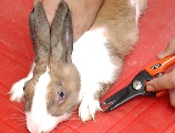 Put the rabbit on a table: easier to restrain rabbit to clip nails.