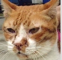 Severe cough and cold in 18-year-old Singapore cat