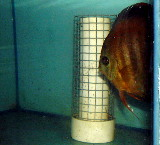 Wire mesh prevents egg eating by parent discus