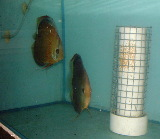 It takes Singapore female discus 1.5 years to mature